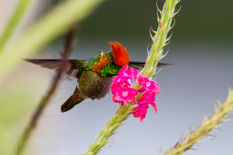 A Tufted Coquette feeding at Vervine (Stachytarpheta jamaicensis).