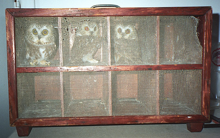 Saw Whet Owls awaiting processing