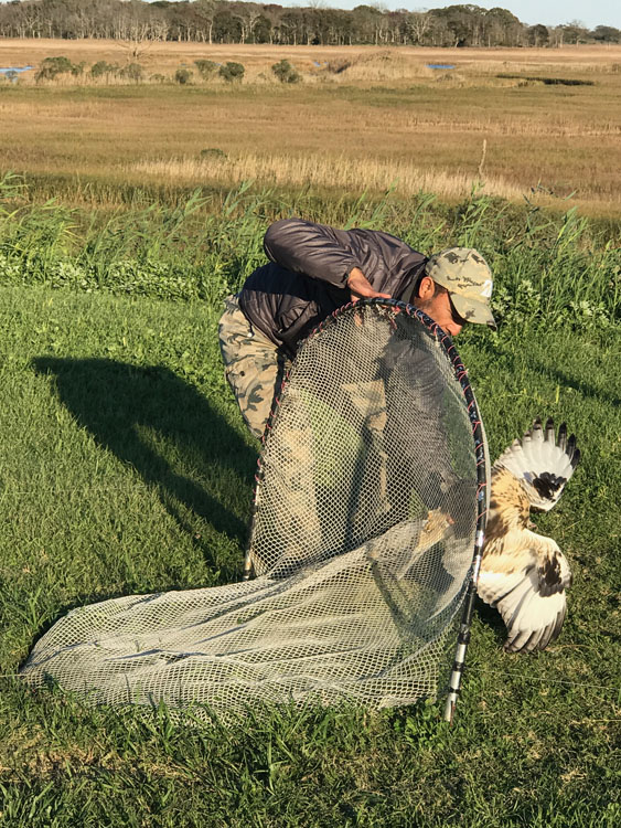 Extracting a Rough-legged Hawk from under a bow trap